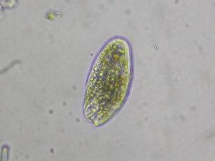 Protozoa sp Author Donald Hobern 1