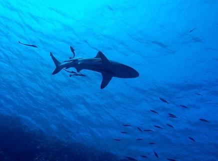 Hiu, ikan remora, simbiosis mutualisme