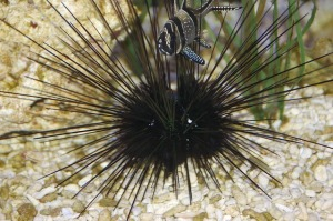 Ikan kecil, Bulu Babi, Simbiosis komensalisme