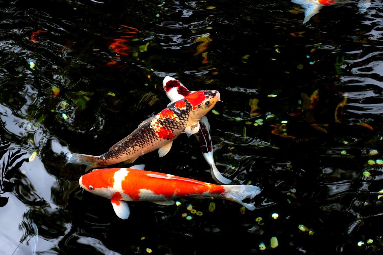 Unduh 86 Gambar Ikan Mas Dan Keterangannya Terpopuler