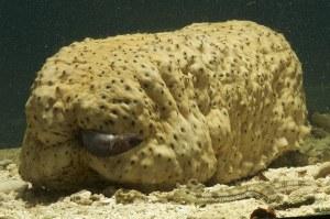 Gambar Ikan Pearl pada Timun Laut, by ironammonite.com