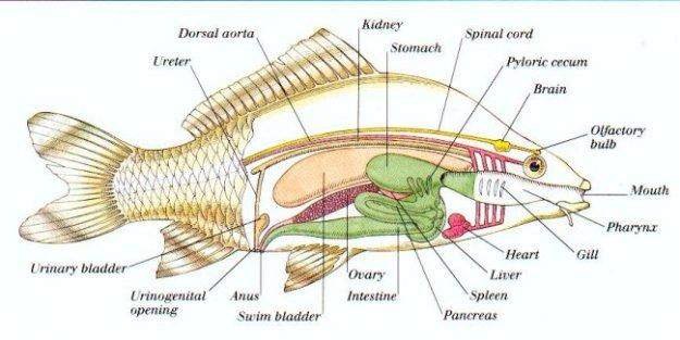 Sistem Ekskresi, osmoregulasi, Ikan