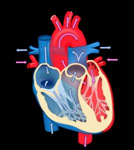 535px-Heart_diagram_blood_flow