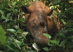 Gambar Badak sumatra (Sumatran_Rhinoceros_Way_Kambas_2008)